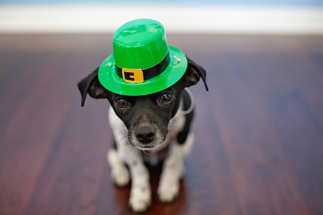 Dog with a Green Hat for St. Patricks Day in Saskatchewan